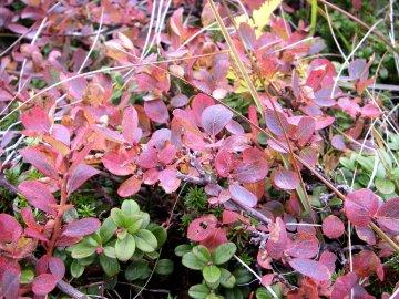 クロマメノキの紅葉(黒豆の木)