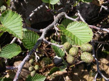 ミヤマハンノキ(深山榛の木)