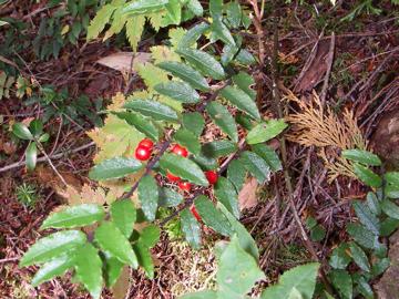 ツルツゲ(蔓柘植)