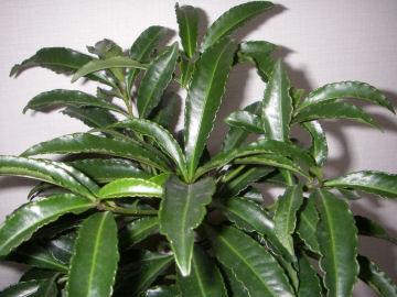 シロミノマンリョウの葉(白実万両の葉)