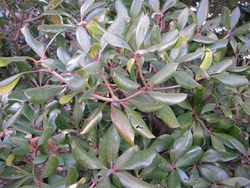 モッコク(木斛)