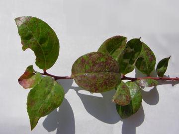 シャシャンボの葉(小小ん坊の葉)