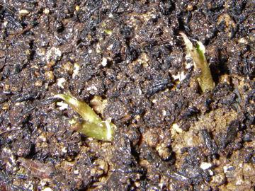ドクダミの芽(毒矯の芽)