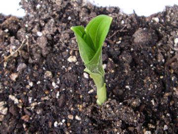 ユキザサの芽(雪笹の芽)