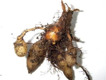 アキウコンの根茎(秋鬱金の根茎)