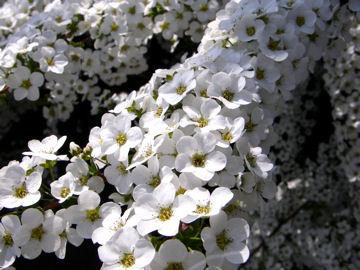 ユキヤナギの花(雪柳の花)