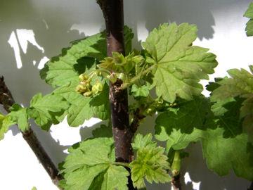 フサスグリの葉と花(房酸塊)