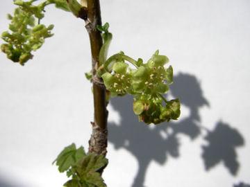 フサスグリの花(房酸塊の花)
