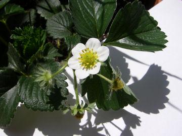 イチゴの花(苺)