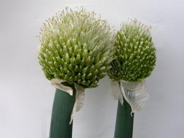 ネギの花(葱)