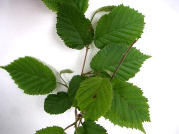 ツノハシバミの葉(角榛の葉)