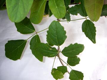 ミツバアケビの葉(三葉木通)