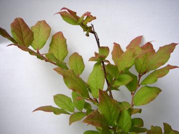 ナツハゼの葉(夏櫨の葉)