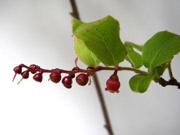 ナツハゼの花(夏櫨の花)