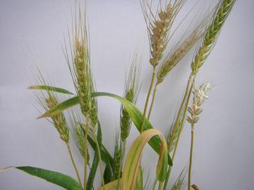 コムギの穂(小麦の穂)