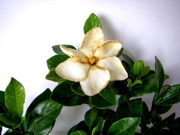 クチナシの花(山梔子)