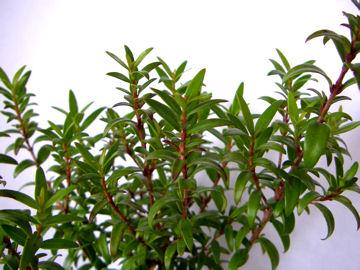 ドワーフマートルの葉