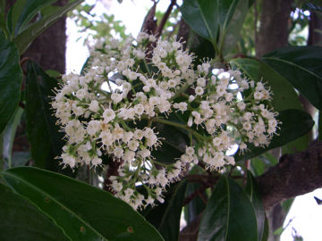 サンゴジュの花(珊瑚樹)