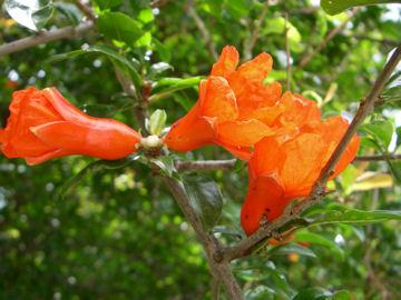 ザクロの花(柘榴,石榴)