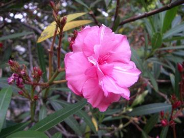 キョウチクトウの花(夾竹桃)