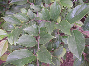 エノキの葉(榎木)