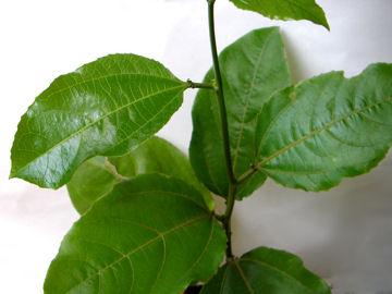 キミノクダモノトケイの葉(黄実の果物時計)