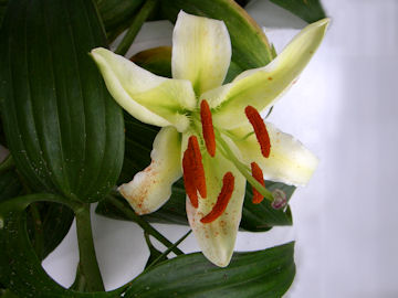 斑点なしヤマユリの花(山百合)