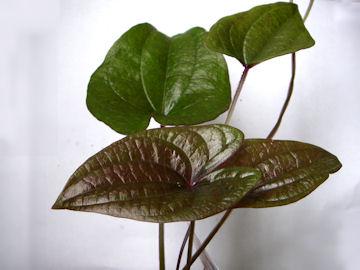 ムラサキヤマイモの葉(紫山芋)