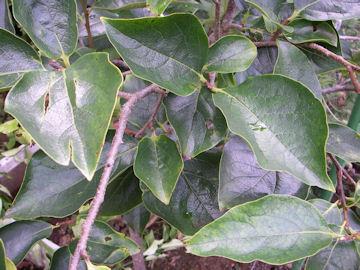 カキノキの葉(柿の木)