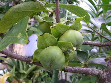 カキノキの実(柿の木)