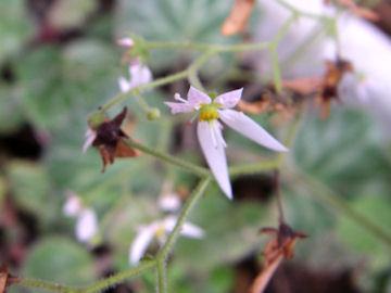 ユキノシタの花(雪の下)