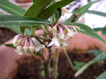 カラタチバナの花(唐橘)