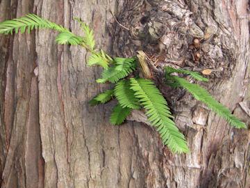 アケボノスギの樹皮(曙杉,メタセコイア)
