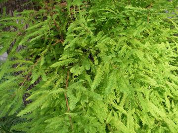 アケボノスギの葉(曙杉,メタセコイア)