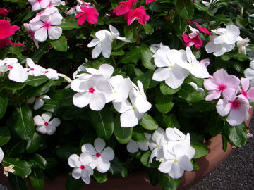 ニチニチソウの花(日々草)