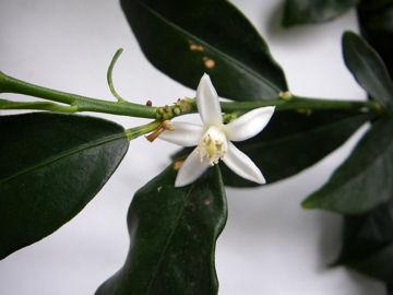 キンカンの花(金柑)