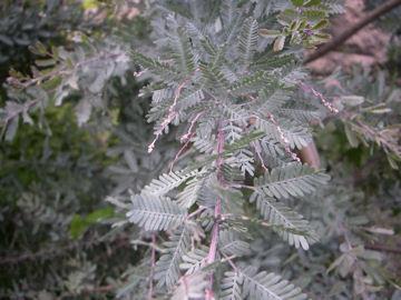 ギンヨウアカシアの葉(銀葉アカシア)