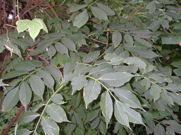 ニワトコ(庭常,接骨木)