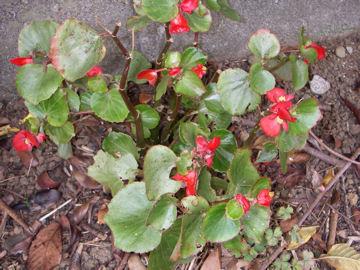 シキザキベゴニア(四季咲きベゴニア)