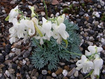 コマクサ(駒草)の白花