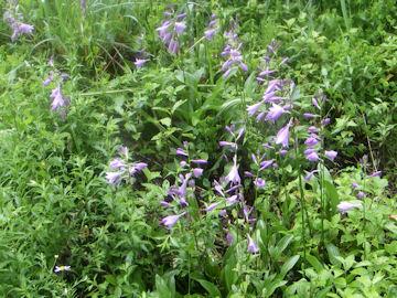 コバギボウシの花(小葉擬宝珠の花)