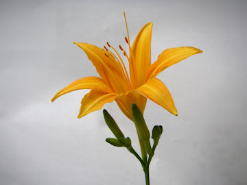 ノカンゾウの花(野萱草)