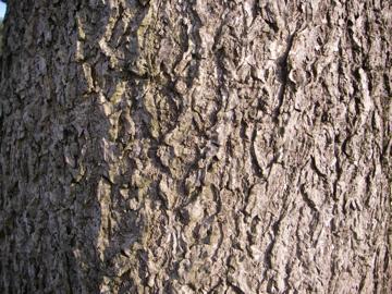 トチノキの樹皮(栃,橡,栃の木)