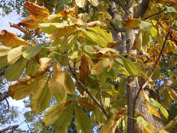 トチノキの黄葉(栃,橡,栃の木)