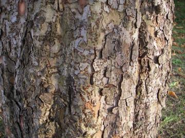 アキニレの樹皮(秋楡)