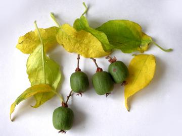 サルナシの実と葉(猿梨)