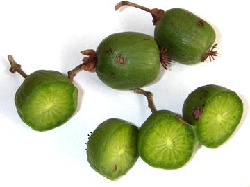 サルナシの実の断面(猿梨)