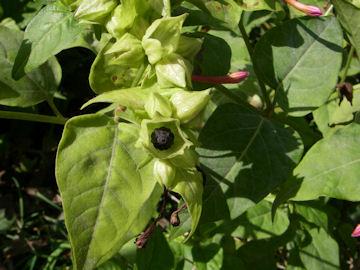オシロイバナの種子(白粉花)