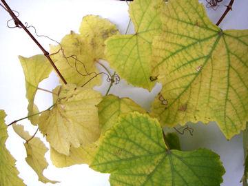 ブドウの黄葉(葡萄)