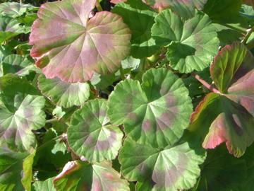 テンジクアオイの葉(天竺葵)